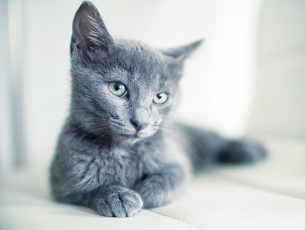 Portrait of an Russian Blue, 4 months old kitten.